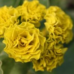 primula_forest_lemon_int-2