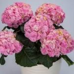70089913_hi_mountain_pink_4