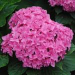 (HydrangeamacrophyllaYouandMePerfection)-500x500
