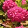 Bauernhortensie 'Alpenglühen' - Hydrangea macrophylla 'Alpenglühen'