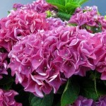 hydrangea-macrophylla-bouquet-rose