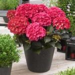 hydrangea-macrophylla-red-angel-01