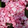 hydrangea-macrophylla-salsa-pbr-dutch-ladies-series-h--229-p