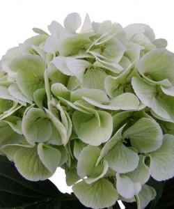 hydrangea-macrophylla-schneeball-classic